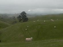 Sheep, New Zealand