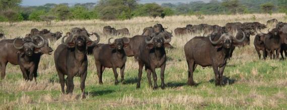Buffaloes, Tanzania