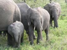 Elephants, Tanzania