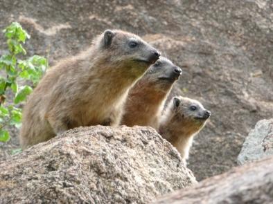 Rock hyraxes, Tanzania