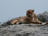 Lioness, Tanzania