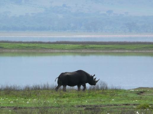 Rhinoceros, Tanzania